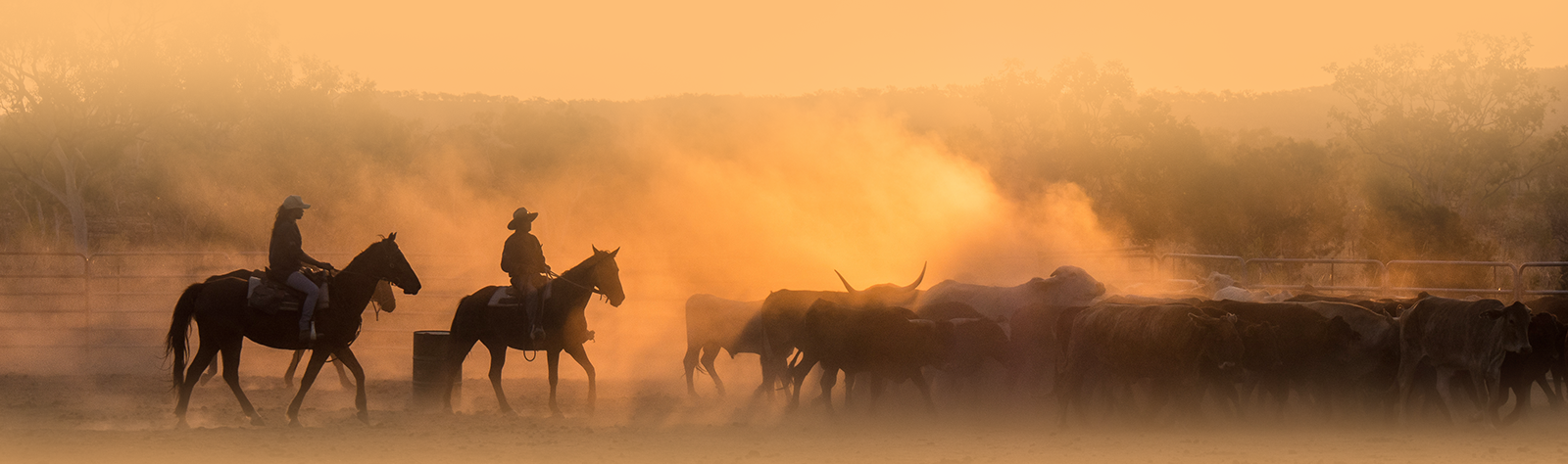 Cattle mustering - Right Hand Remote Solutions